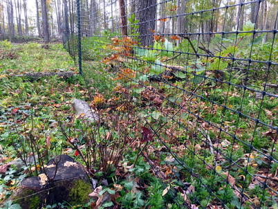 Photo of Maple stump with browsed sprouts outside fence and unbrowsed, tall sprouts within fence. Alejandro A. Royo, U.S. Department of Agriculture Forest Service.