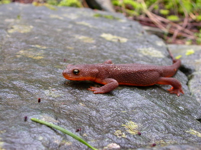 Photo of Rough skinned newt, Taricha granulosa is commonly seen in Pacific Northwest forests, and in laboratory experiments has been shown to be vulnerable to the salamander chytrid fungus. Elke Wind, U.S. Department of Agriculture Forest Service.