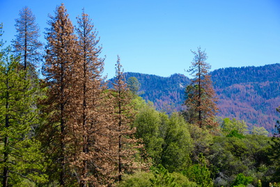 Photo of Tree mortality in the Sierra Nevada National Forest, California. U.S. Department of Agriculture Forest Service.