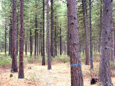 Photo of Tree marked for a restoration treatment on the Deschutes National Forest. Oregon Department of Forestry.