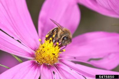 Photo of A honey bee. istockphoto.com.