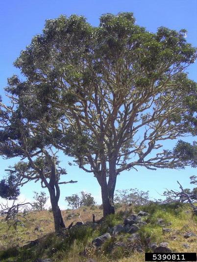 Photo of Koa (Acacia koa) tree. Forestryimages.com.