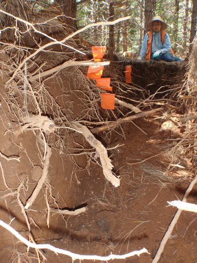 Photo of Pushing the limits of soil disturbance. This image shows the extensive lateral root development found on severely compacted research plots in mixed-conifer forest types of the Sierra Nevada. Soils were compacted to a root limiting density prior to planting. Carol Shestak, U.S. Department of Agriculture Forest Service.