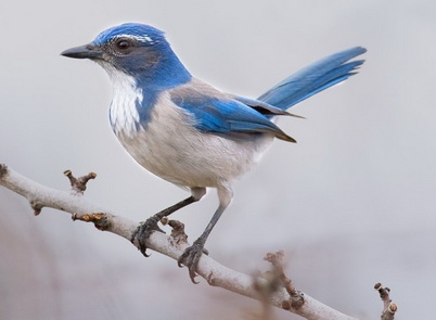 Photo of Following a sharp decline in abundance related to West Nile Virus, western scrub-jays in California are showing recovery. Gary Woods.
