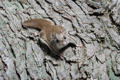 Photo of Northern flying squirrel. iStock.