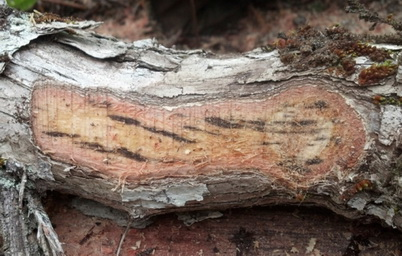 Photo of The fungus Ceratocystis fimbiata. Flint Hughes, U.S. Department of Agriculture Forest Service.