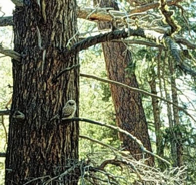 Photo of A juvenile Mexican spotted owl perched in a large, old Douglas-fir tree shortly after fledging. U.S. Department of Agriculture Forest Service.