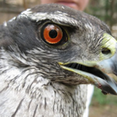Photo of Northern goshawk. U.S. Department of Agriculture Forest Service.
