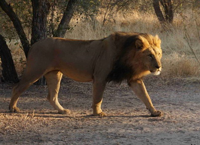 Photo of An adult male lion in the Central Kalahari Game Reserve. Sam Cushman, U.S. Department of Agriculture Forest Service.