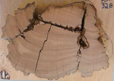 Dendrochronology Of Utah Juniper Research Highlights Us