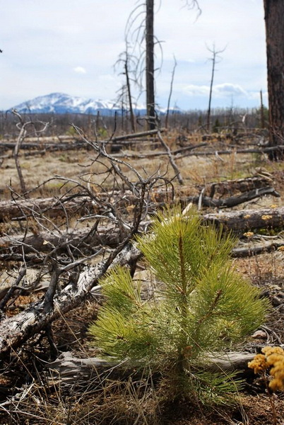 Photo of A post-fire ponderosa pine seedling stands alone in a severely burned portion of the 2002 Hayman Fire, Colorado. Paula Fornwalt, U.S. Department of Agriculture Forest Service.