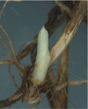 Photo of A western wheatgrass bud has started to grow out from the base of its parent stem. U.S. Department of Agriculture Forest Service.