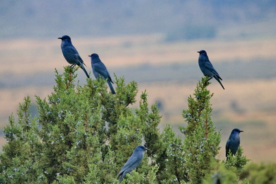 Photo of Flock of pinyon jays in juniper tree. U.S. Department of Agriculture Forest Service.