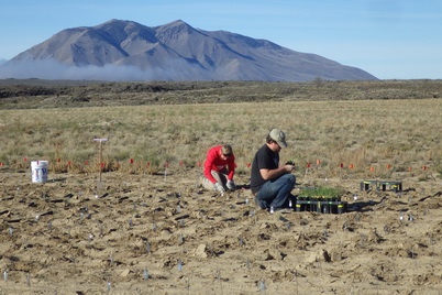 Photo of Matt Fisk (Left) and Francis Kilkenny (Right) plant bluebunch wheatgrass (Pseudoroegneria spicata) at the Atomic City experimental study site near Atomic City, Idaho. Nancy Shaw, U.S. Department of Agriculture Forest Service.