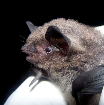 Photo of Indiana bat. Caroline Byrne, Indiana State University.