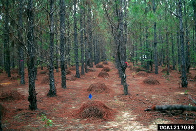 Photo of Slash pine needles raked into piles for later collection and baling. Pine needles are among the most common non-timber forest products collected from State Forests in five southern states. David Dickens, University of Georgia, Bugwood.org.