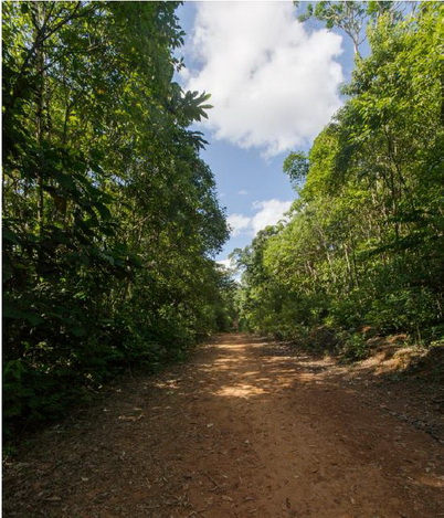 Photo of Even an unpaved, little-used road adjacent to secondary forest can impact amphibians and reptiles. Ross Maynard, Stephen F. Austin State University.