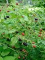 Rubus, a plant spcies found in forests which responds to elevated nitrogen when there is sufficient light. This response can change the herb layer diversity in eastern forests. Christopher A. Walter, West Virgina University.
