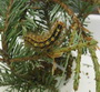 Asian gypsy moth larva defoliating Douglas fir. Melody A. Keena, U.S. Department of Agriculuture Forest Service.