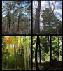 Examples of mixedwood types in eastern North America: A) shortleaf pine – oak forest in southern Missouri (credit: Missouri Department of Conservation); B) white pine – red oak forest in southern Maine (credit: Justin Waskiewicz); C) spruce – fir – hardwood forest in Quebec (credit: Patricia Raymond); D) hemlock – hardwood forest in northern Wisconsin. Kate Gerndt.