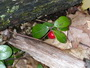 Example of regionally (Ridge and Valley) defined species Gaultheria procumbens. Cynthia D. Huebner, U.S. Department of Agriculture Forest Service.