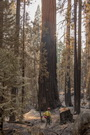 Photo of A sequoia scarred by a 2015 fire in the Sierra National Forest. U.S. Department of Agriculture Forest Service.