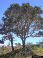 Photo of Koa (Acacia koa) tree. Forestryimages.com.
