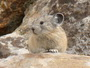 Photo of The American pika, a small non-hibernating mammal related to rabbits that lives in high mountains of western North America. Dr. Andrew Smith, Arizona State University.