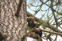Photo of Male fisher in ponderosa pine tree. Jordan Latter, U.S. Department of Agriculture Forest Service.