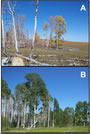 Photo of (A) A deteriorating aspen stand. (B) A vigorous aspen stand. Response to treatment would better in (B). Justin DeRose, U.S. Department of Agriculture Forest Service.