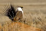 Photo of Greater sage-grouse. U.S. Department of Agriculture Forest Service.