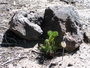 Photo of Planting limber pine seedlings near objects, such as this rock, increases successful seedling establishment and survival. Anna Schoettle, U.S. Department of Agriculture Forest Service.