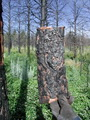 Photo of Bole charring caused by a wildfire in a ponderosa pine forest. The extent of bole scorch is related to the probability of infestation by pine engraver beetles. U.S. Department of Agriculture Forest Service.