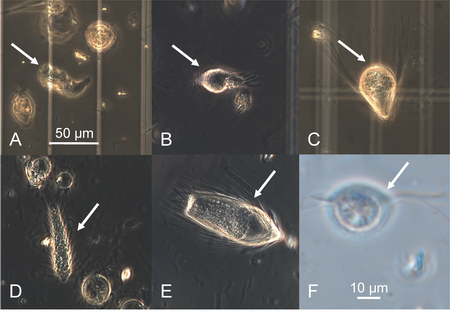 Phase-contrast light