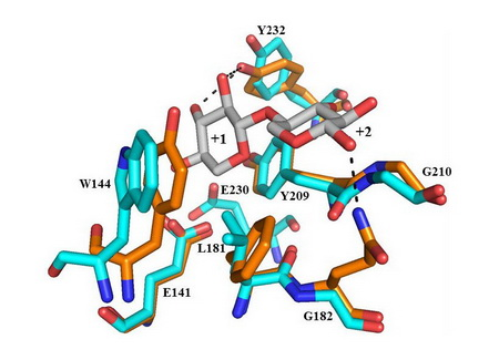 Photo of Crystallographic comparison of the GlcA-independent CaXyn30A aglycone region with the ligand bound GlcA-dependent CtXyn30A structure.