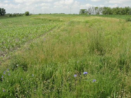 Photo of Prairie strip embedded in an agricultural (corn) watershed.  The prairie strips increase nutrient and sediment retention, reduce runoff, and increase biodiversity