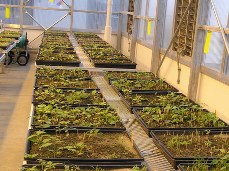 Photo of Flats containing soil samples and germinants growing within a greenhouse.  The germinants are plant species found in the collected soil within the invaded, mixed, early successional, and mature forest sites.