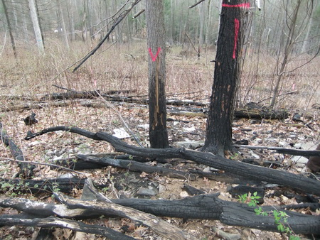Photo of Two oak trees of different diameters after prescribed fire. The larger of the two, though charred higher up the bole, is more likely to survive.