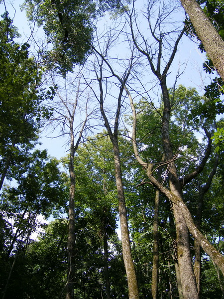 Photo of Dead ash trees in an urban forest create a gap in the canopy, allowing sunlight to filter down to other trees and plants.