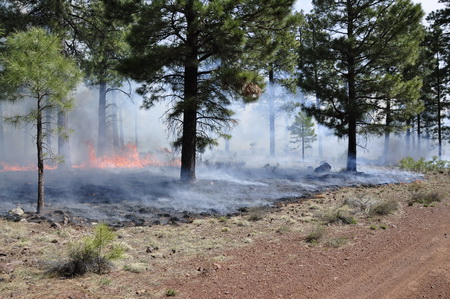 Photo of Prescribed burns, such as this one in the Coconino National Forest in northern Arizona, are an effective way to reduce accumulated fuels. New insights on the physiological response of trees to heat stress will help land managers determine the likelihood of tree mortality following a burn.