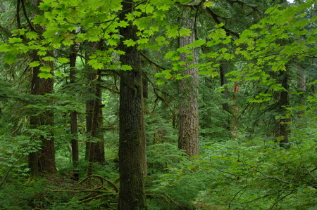 Photo of A stand of old-growth Douglas-fir in the H.J. Andrews Experimental Forest, Oregon.