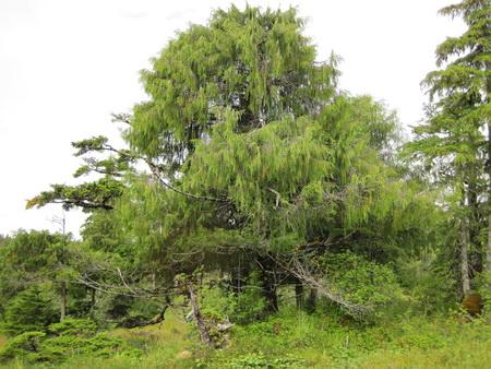 Photo of Yellow-cedar (Callitropsis nootkatensis) in Cedar Bay, Alaska.