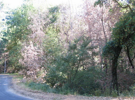 Photo of Trees killed by sudden oak death near Big Sur, Calif.