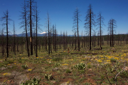 "Photo of One of the partially harvested treatment units of the ""Variable Retention Salvage"" study on the Blacks Mountain Experimental Forest, Lassen National Forest, Calif., in June 2006, four years after the Cone Fire and three years after salvage harvest."