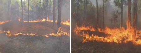 Photo of Merging of a ring of fire burning in longleaf pine understory (Pinus palustris Mill). Note the significant change in fire behavior as the flame fronts converge.