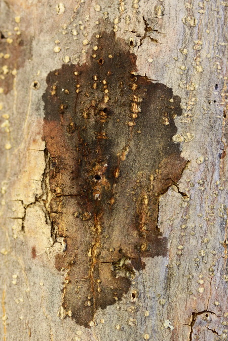 Photo of Dark sap staining on the bark surface of a walnut tree (Pterocarya stenoptera) branch caused by underlying damage from the walnut twig beetle (Pityophthorus juglandis) and fungus (Geosmithia morbida) surrounding two beetle entrance or emergence holes.