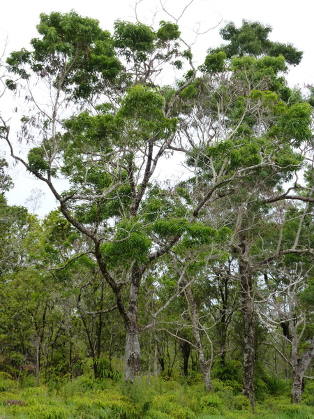 Koa tree along Saddle Road on east side of the Big Island of Hawaii.