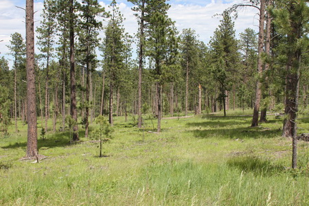 Photo of Forest Service researchers are treating young forests to create northern goshawk habitat and resistant bark beetle structures that also produce timber products.