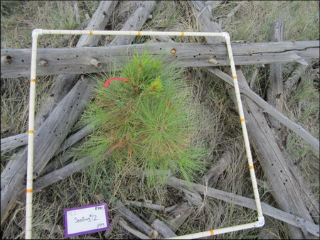Photo of A post-fire ponderosa pine seedling in a high-severity burn patch of the 2000 Pumpkin Fire, Arizona.