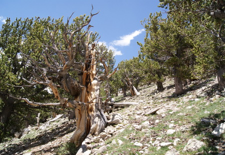 Photo of High-elevation bristlecone pines exhibiting characteristic partial cambial dieback and gnarled physiognomy at Bristlecone Park, Colorado (3676 m elevation).